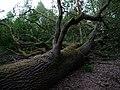 Fallen Quercus at the Spandauer Forst 02.jpg