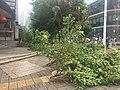 Fallen trees in Shenzhen due to 2018 Typhoon Mangkhut 10.jpg