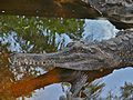 False Gharials (Tomistoma schlegelii) (6749856797).jpg