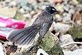 Fantail flycathcer नाचरा नर्तक मक्षाद 02.jpg