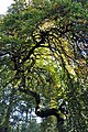 Fau de la Demoiselle Verzy 23 10 2011 3.jpg