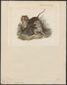 Felis tigris - 1834 - Print - Iconographia Zoologica - Special Collections University of Amsterdam - UBA01 IZ22100079.tif