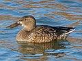 Female Anas clypeata on the pond.jpg