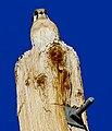 Female Kestrel Hawk (27612367189).jpg