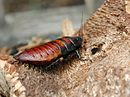 Female Madagascar hissing cockroach.JPG