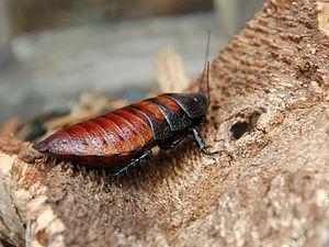 Madagascar hissing cockroach - Female Madagascar hissing cockroach  (Gromphadorhina portentosa)