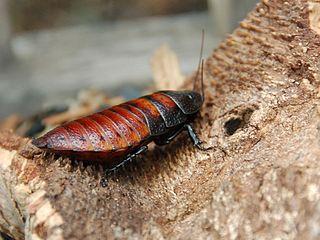 Hissing roach