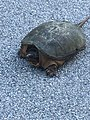 Female snapping turtle searching for a site to lay eggs.jpg