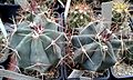 Ferocactus californicus 1e.jpg