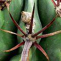 Ferocactus recurvus 1000.jpg
