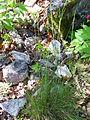 Festuca elegans Habitus 2011-4-10 SierraMadrona.jpg