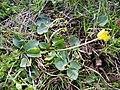 Ficaria calthifolia sl19.jpg