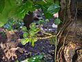 Ficus auriculata (6935178053).jpg