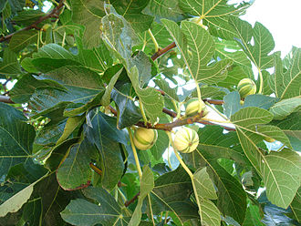 Variegation - Variegation of fruits and wood in Ficus carica Panascè, a bicolor (yellow-green) common fig cultivar. This Italian cultivar is a chimera