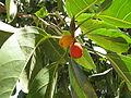 Ficus obliqua - fruit.JPG