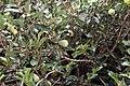 Ficus pumila 29zz.jpg