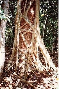 210px-Ficus_watkinsiana_on_Syzygium_hemilampra-Iluka.jpg