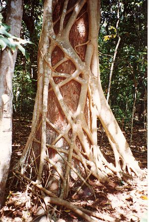 Parasitoid - The strangler fig Ficus watkinsiana slowly killing a rainforest tree, Syzygium hemilampra