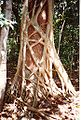 Ficus watkinsiana on Syzygium hemilampra-Iluka.jpg