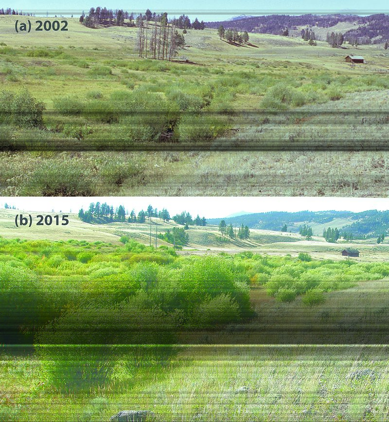 Fig. 1 -Riparian willow recovery (26485120926).jpg
