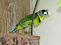 Fire-tufted Barbet RWD3.jpg