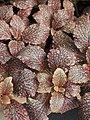 Fittonia albivenis 'Janita' 2018-04-15 01.jpg