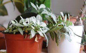 File:Fittonia watered.ogv