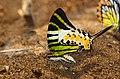FivebarSwordtail-Aralam-DSC 3051A.jpg