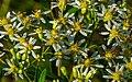 Flat-topped White Aster (Doellingeria umbellata) (42072858785).jpg