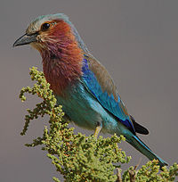 Flickr - Rainbirder - Lilac-breasted Roller (Coracias caudatus)