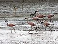 Flickr - don macauley - Flamingos in Kenya.jpg