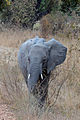 Flickr - ggallice - Elephant.jpg