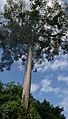 Flickr - ggallice - Kapok tree climber (1).jpg