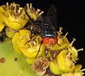 Flies pollinating Euphorbia barnardii (4871476089).jpg