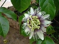 Flor de maracujá2