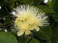 Flor do Pequi amarela.jpg