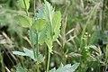 Flora della Sardegna 260 (07).jpg