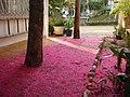 Flores de Pomarroso Condominio Hacaritama Melgar Tolima Colombia - panoramio.jpg