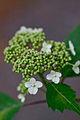 "Flower, Hydrangea ""Beni-Yamaajisai"" - Flickr - nekonomania.jpg"