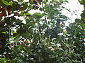 Flower mullai 10.jpg