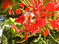 Flower of gulmohar.jpg