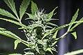 Flowering Early Skunk Cannabis Sativa.jpg