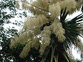 Flowering Talipot Palm 03.jpg