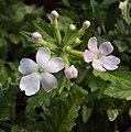 Flowers - Uncategorised Garden plants 143.JPG