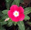 Flowers - Uncategorised Garden plants 149.JPG