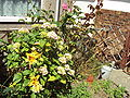 Flowers and watering can - DSC06777.JPG