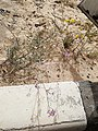 Flowers in Khobar 3.jpg
