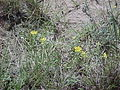 Flowers of Hell Creek Formation 3- Harding County South Dakota.JPG