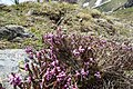 Flowers of Jablanica Mountain, Struga 13.jpg