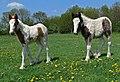 Foals on Aylestone Playing Fields - geograph.org.uk - 799188.jpg